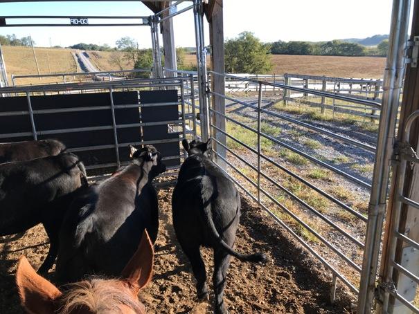 TN Beef Heifer Working Cattle